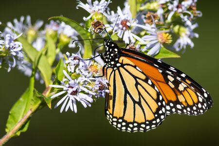 Monarch Butterfly Sipping Nectar from the Accommodating Flower Фото со стока
