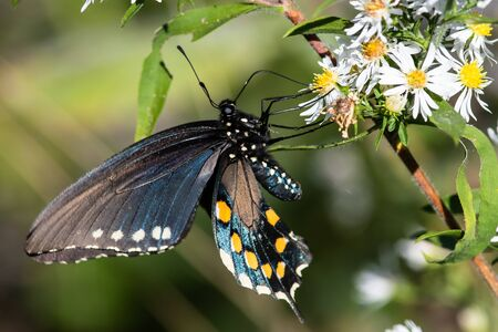 Spicebush Swallowtail Butterfly Sipping Nectar from the Accommodating Flower Фото со стока - 138633356
