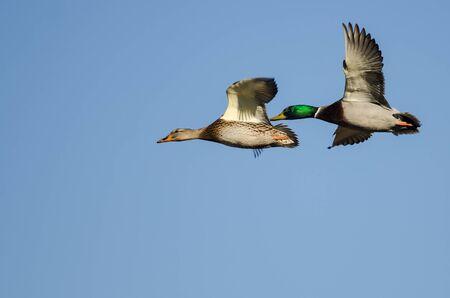 Pair of Mallard Ducks Flying in a Blue Sky Foto de archivo - 138223405