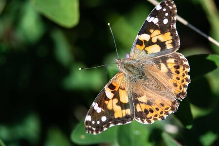 Painted Lady Butterfly Sipping Nectar from the Accommodating Flower Фото со стока