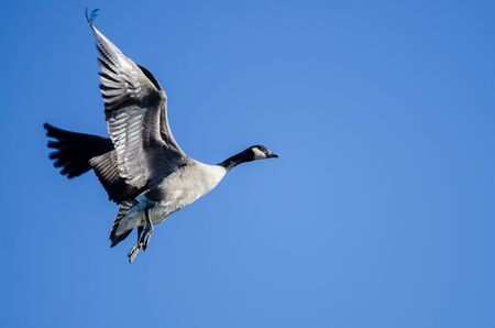 Lone Canada Goose Flying in a Blue Sky Standard-Bild