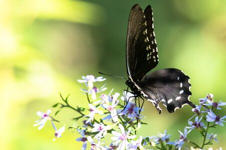 Spicebush Swallowtail Butterfly Sipping Nectar from the Accommodating Flower