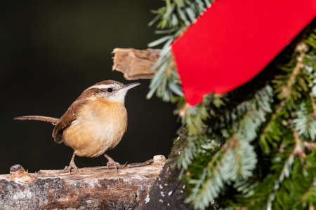 Carolina Wren Perched Beside a Christmas Wreath 免版税图像