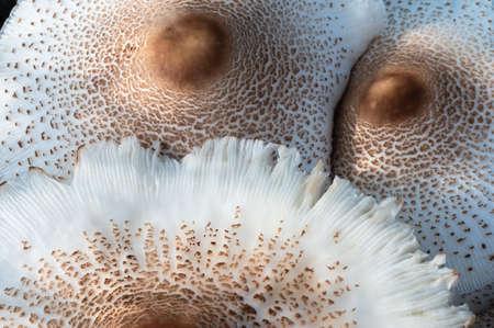 Nature Abstract: Caps of a Parasol Mushroom