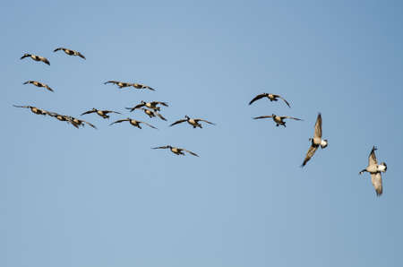 Whiffling Flock of Canada Geese Coming in for Landing in a Blue Sky 免版税图像