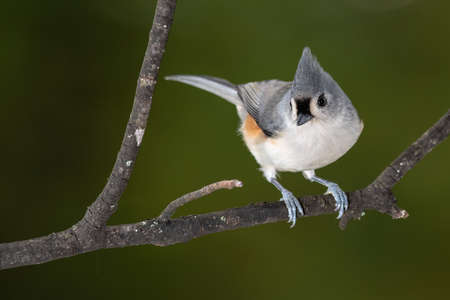 Tufted Titmouse Perched on a Slender Tree Branch
