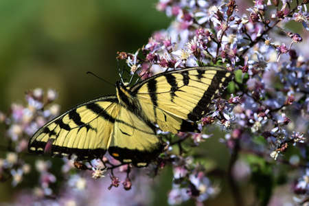 Eastern Tiger Swallowtail Butterfly Sipping Nectar from the Accommodating Flower