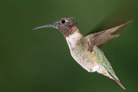 Ruby Throated Hummingbird Hovering in the Green Forest