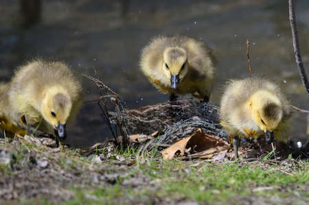 Newborn Goslings Learning to Search for Food