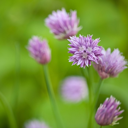 chive: chive blossom