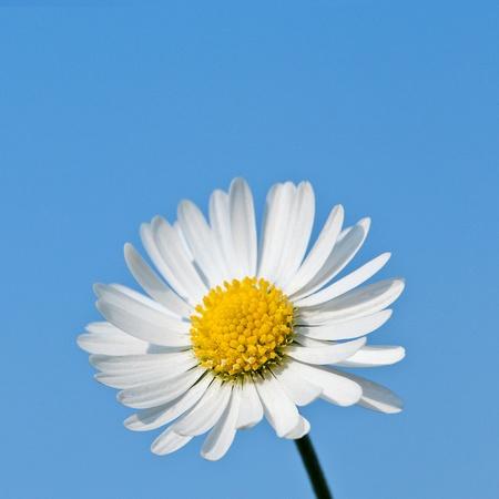 blue daisy: daisy against blue sky