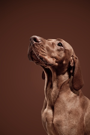 Weimaraner Hunting Dog on Brown Background Stock Photo - 11997001