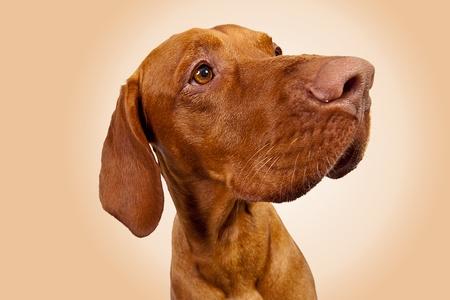 Weimaraner Hunting Dog on Brown background photo