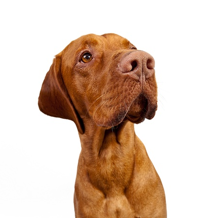 perro de caza: Weimaraner Perro de caza sobre fondo blanco Foto de archivo