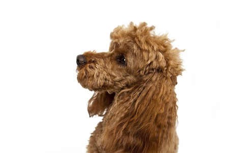 Golden poodle on White Background photo