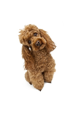 Golden poodle on White Background Stock Photo - 12077662
