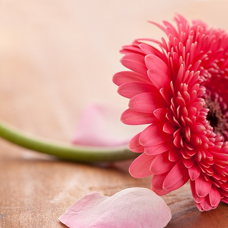 repelling: gebera flower with rose leafs on wooden background Stock Photo