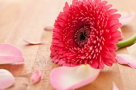 gebera: gebera flower with rose leafs on wooden background Stock Photo