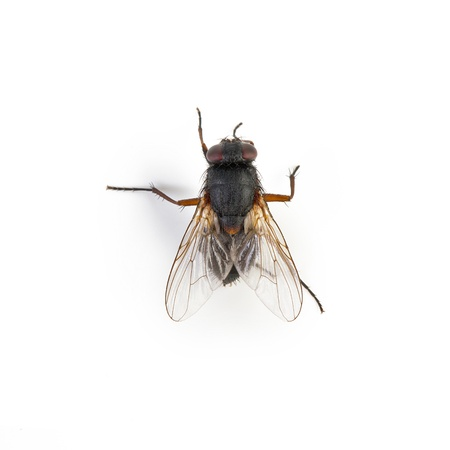 housefly: Black housefly on white background  Stock Photo
