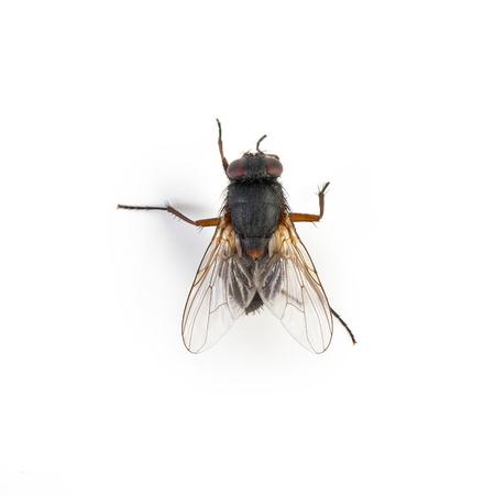 housefly: Black housefly on white background  Stock Photo