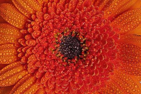 gebera: Orange gebera flower with water drops
