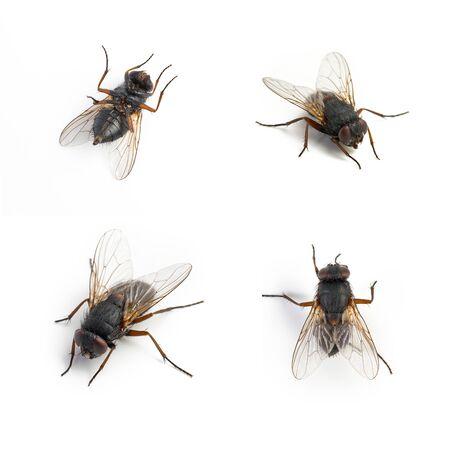 fly black: Black housefly set dead on white background