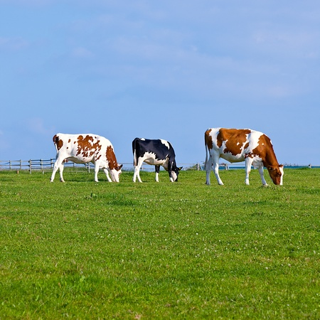cow grass: cows on green grass against blue sky