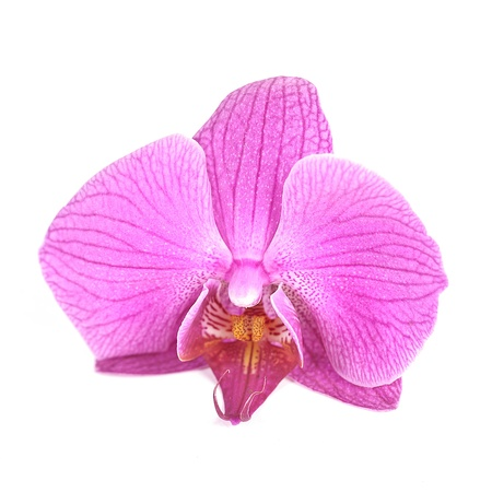 orchid orchids pink flower petal zen flora flower garden decoration Stock Photo - 19248617