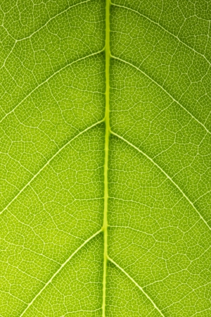 photosynthesis: Leaf Vein veins branched network photosynthesis spring green leaf surface texture
