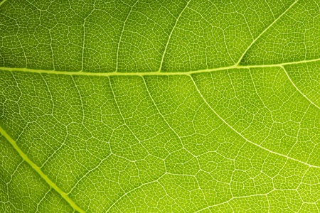 leaf vein: Leaf Vein veins branched network photosynthesis spring green leaf surface texture