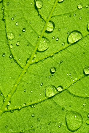 hydrophobic: Water drop dew drop leaf plant veins spring leaf surface network