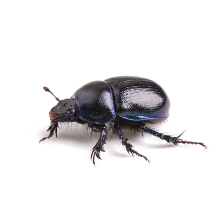 Dung beetle scarab beetle lucky black beetle insect pest control pests woodbeetle photo