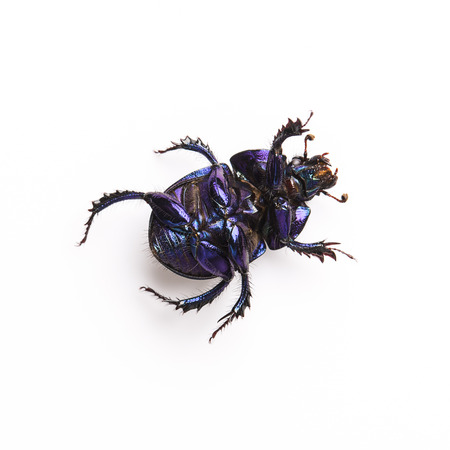 dung: Dung beetle scarab beetle lucky black beetle insect lying back pest control pests woodbeetle