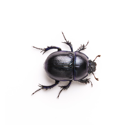 feces: Dung beetle scarab beetle lucky black beetle insect pest control pests woodbeetle