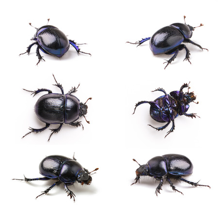 dung: Dung beetle scarab set collection beetle lucky black beetle insect pest control pests wood