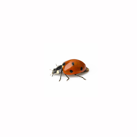 lucky charm: ladybug red spotted insect biology mai lucky charm spring summer macro Zoology