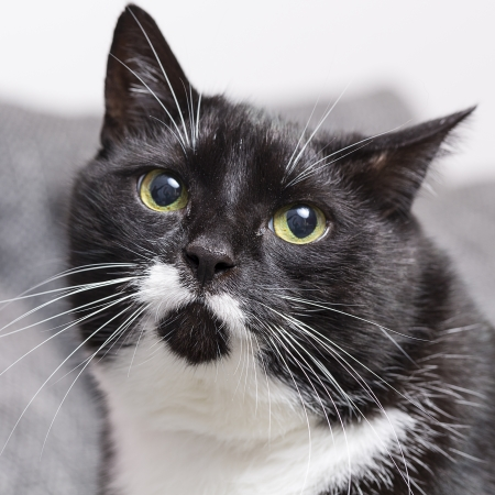 whisker: black domestic cat pet kitty cat food meow kitty looking whisker faithful Stock Photo