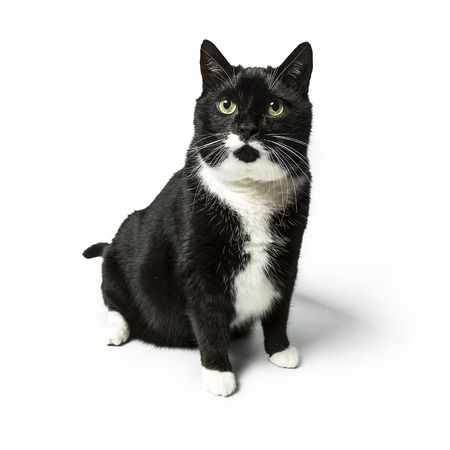 exempted: cat isolated black exempted domestic cat pet kitty kitty meow looking whisker faithful