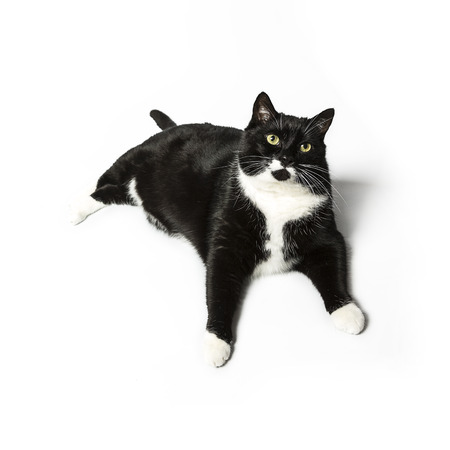 whisker: cat isolated black exempted domestic cat pet kitty kitty meow looking whisker faithful