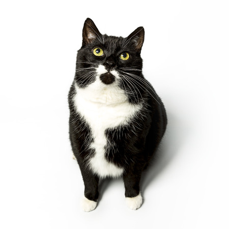 kitty cat: cat isolated black exempted domestic cat pet kitty kitty meow looking whisker faithful