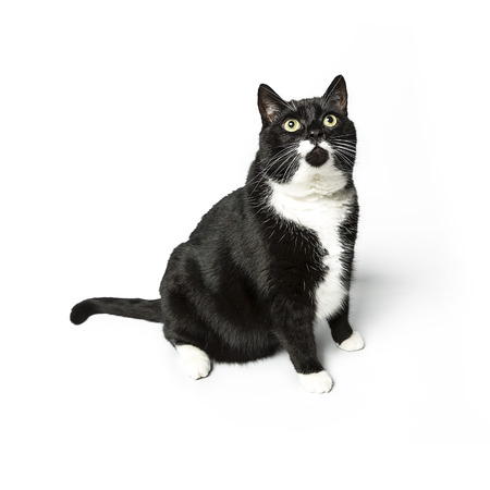 cat isolated black exempted domestic cat pet kitty kitty meow looking whisker faithful Stock Photo - 24971757