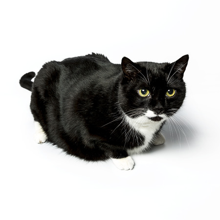 cosiness: cat isolated black exempted domestic cat pet kitty kitty meow looking whisker faithful