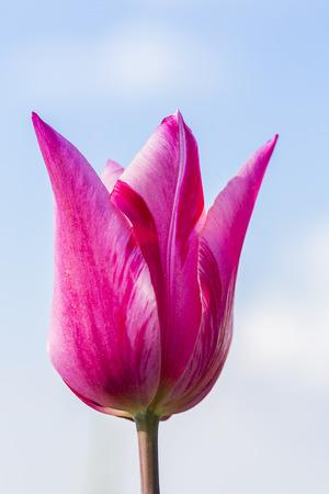 blue tulip: pink tulip flower bud on blue sky Stock Photo