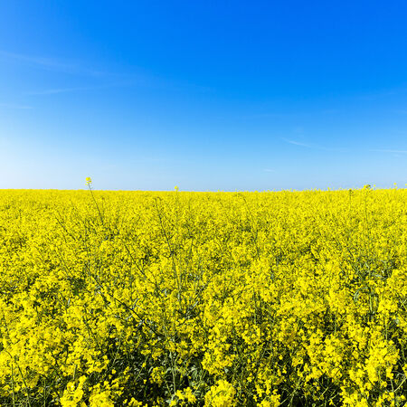 biodiesel: rapefield rapeseed oil farming energy spring yellow ecologically biodiesel Stock Photo