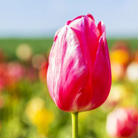 close p: Pink tulip bud in a field