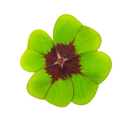 four leaved: Lucky Clover leaf isolated on white background