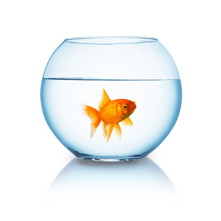 single fin: fishbowl with a single goldfish that looks curious on white