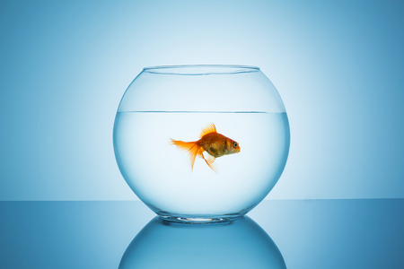 claustrophobia: fishbowl with a goldfish that swims away on blue background
