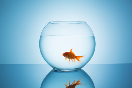 claustrophobia: fishbowl glass with a goldfish that screams with his mouth on blue background Stock Photo