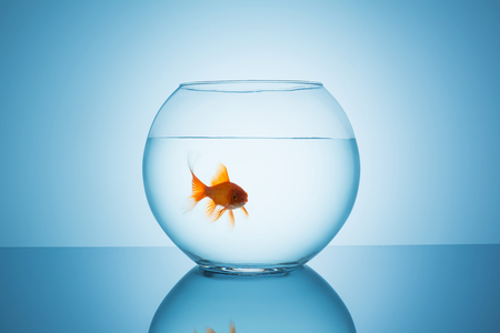 fishbowl: fishbowl with a goldfish that looks angry to you on blue background Stock Photo